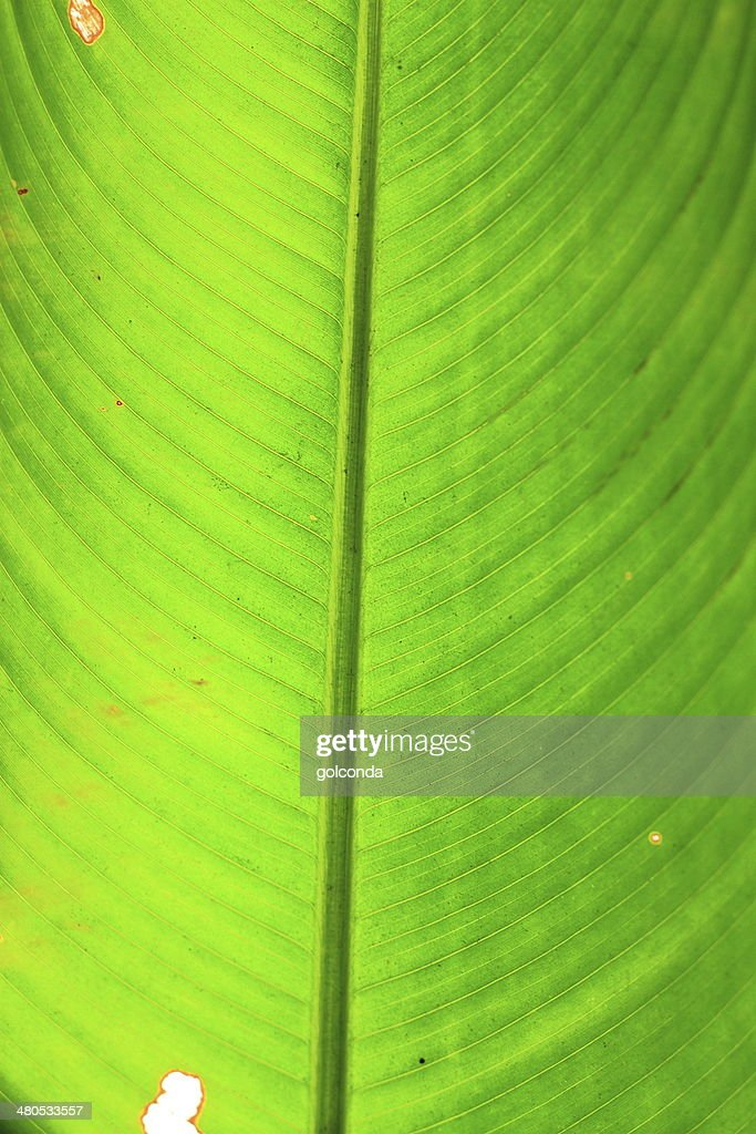 green leaf lange Natur : Stock-Foto