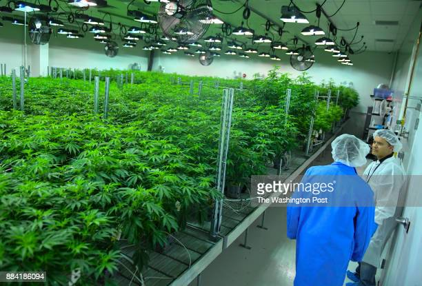 Green Leaf Medical CEO Philip Goldberg right and his brother and general council Kevin Goldberg walk through one of the flower rooms at Green Leaf...