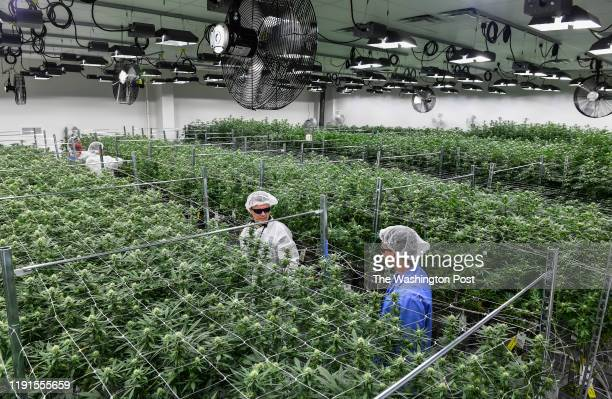 Green Leaf Medical CEO Philip Goldberg second from right and his brother and general council Kevin Goldberg right inspect the marijuana plants as...