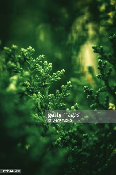 foglia verde, sfondo naturale - cipresso foto e immagini stock