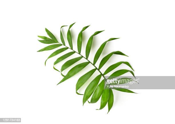 green leaf of palm tree. isolated. - leaf stock pictures, royalty-free photos & images