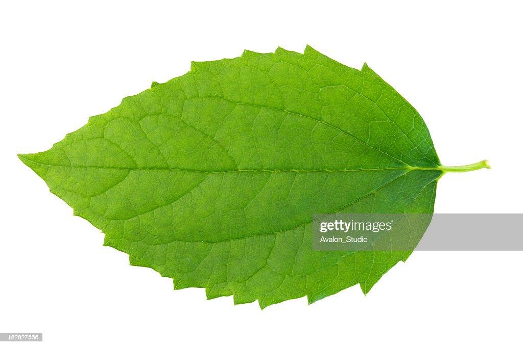 Green leaf on wbite background. : Stock Photo