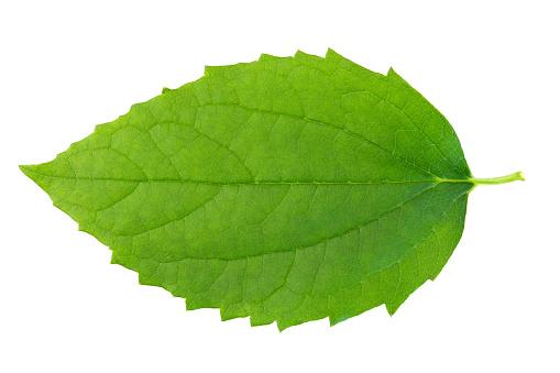 Green leaf on wbite background. 182827556