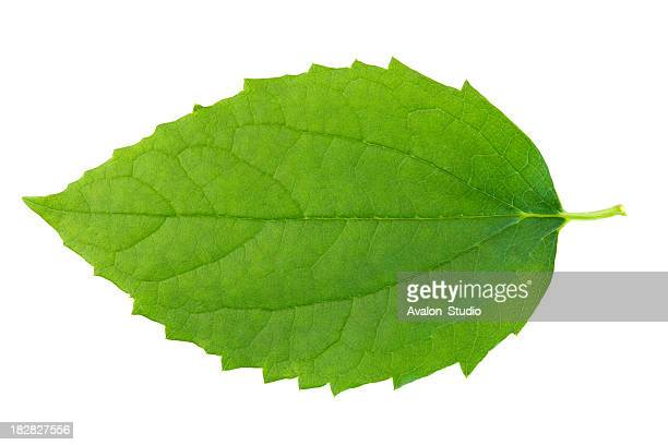 green leaf on wbite background. - green colour stock pictures, royalty-free photos & images