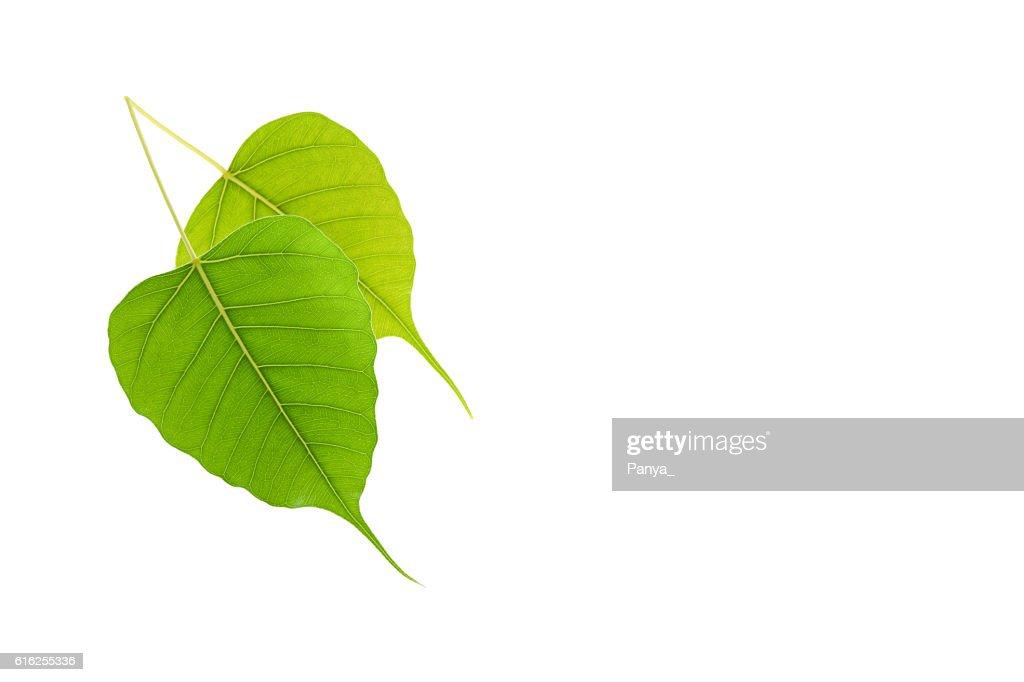 Folha Verde sobre fundo branco. : Foto de stock
