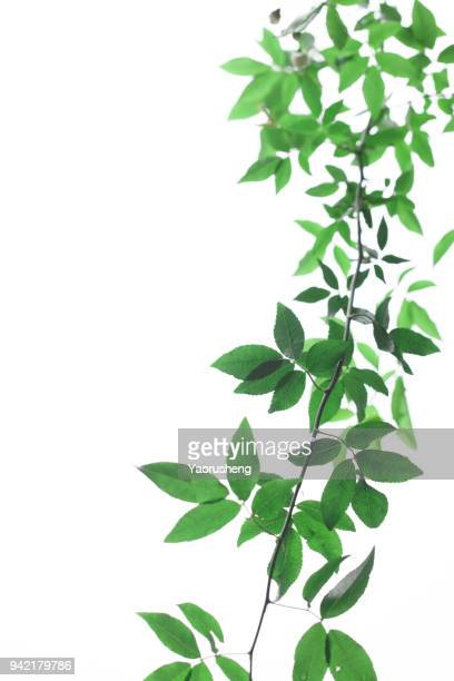 green leaf on white background - bush stock pictures, royalty-free photos & images
