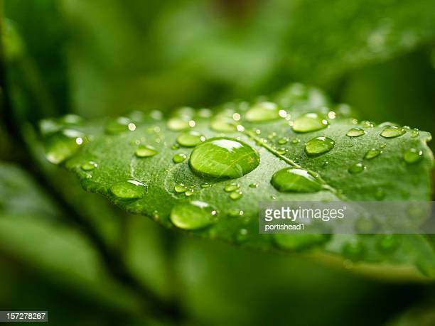 green leaf - dew stock pictures, royalty-free photos & images