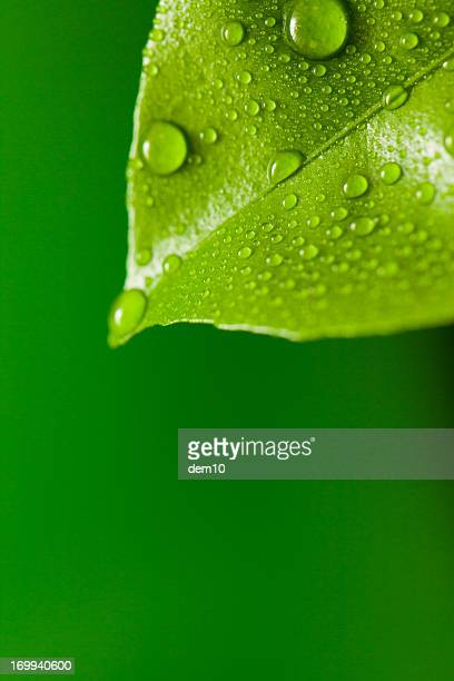 green leaf - lemon leaf stock photos and pictures