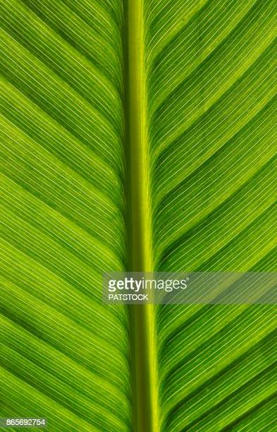 green leaf - canna lily stock pictures, royalty-free photos & images