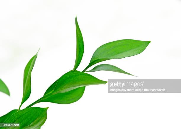 green leaf sprout - chlorophyll stock pictures, royalty-free photos & images