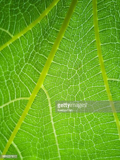green leaf texture, leaf texture abstract background - chlorophyll stock pictures, royalty-free photos & images