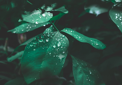 Green leaf with dew on dark nature background. 1050634172