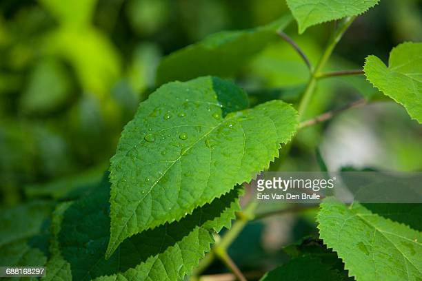 green leaf with water droplets - eric van den brulle imagens e fotografias de stock