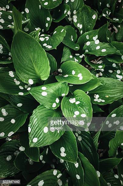 Green Leaf with White Sakura Petals after Rain