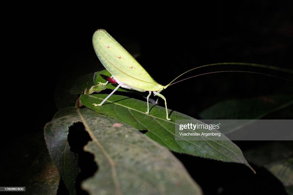 Green leaf-like insect, Borneo, Malaysia : Stock Photo