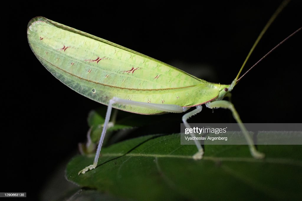 Green leaf-like insect, Borneo, Malaysia : Stock Photo