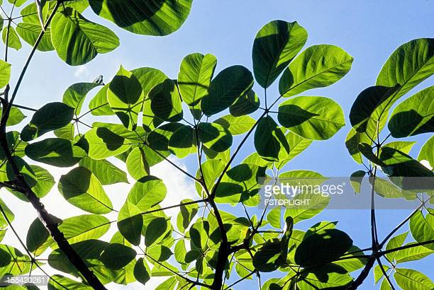 green leafs of tropical plant - fstoplight stock photos and pictures