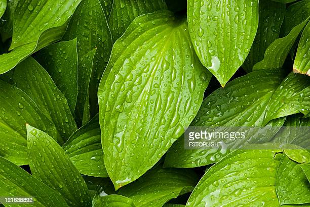 Green leafs with water drops