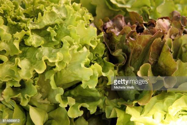 green leafy lettuce hint of purple