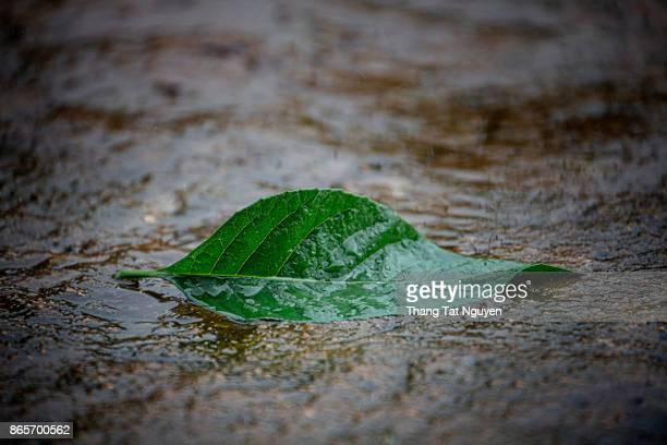 Green leave in rain