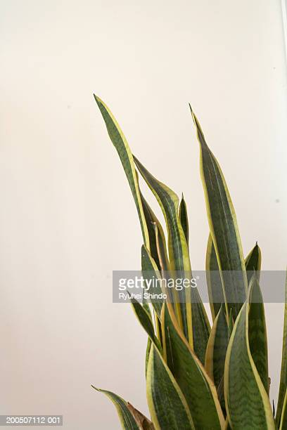 green leaved plant - sanseveria trifasciata stock pictures, royalty-free photos & images
