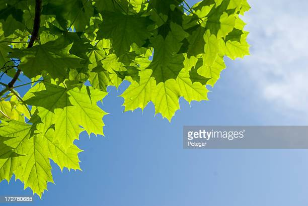 Green Leaves against the Sky