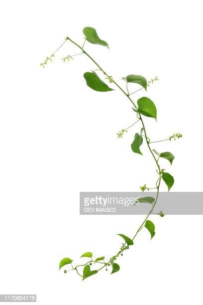 green leaves against white background - edera foto e immagini stock