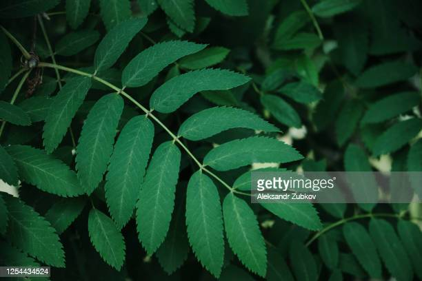 green leaves and branches of mountain ash on a sunny summer or spring day. - 西シベリア ストックフォトと画像