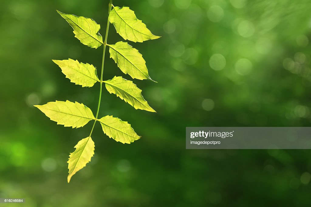 green leaves and light : Foto de stock