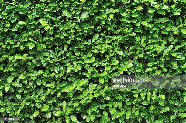 green leaves background - hedge stock pictures, royalty-free photos & images