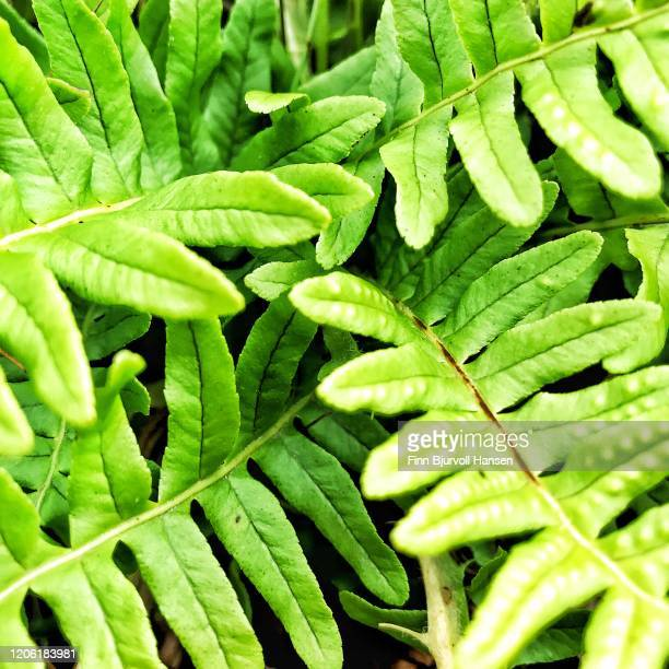 green leaves from a plant - finn bjurvoll stock pictures, royalty-free photos & images