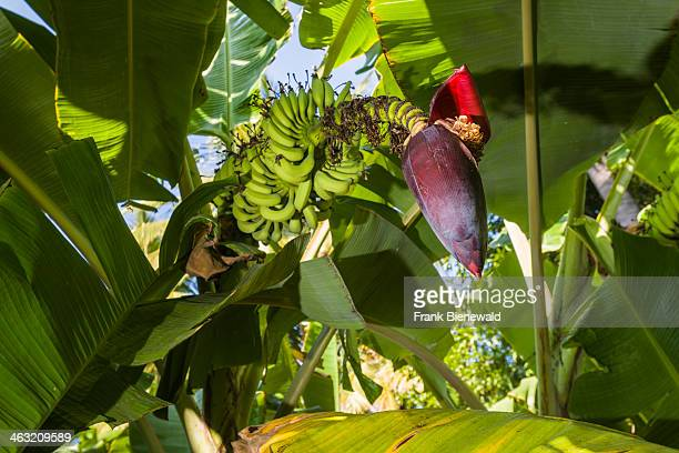 Green leaves fruit cluster and the flower of a banana plant in a plantation between the ruins of the former Vijayanagara Empire