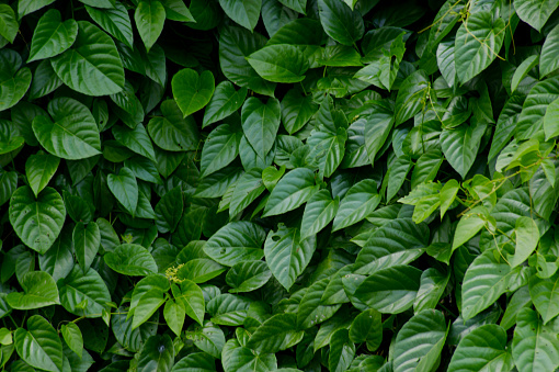 green leaves natural background - gettyimageskorea