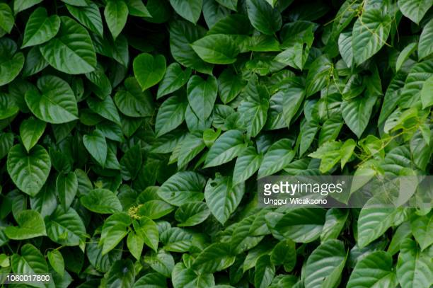 green leaves natural background - blatt pflanzenbestandteile stock-fotos und bilder