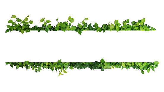Green leaves nature frame border of devil's ivy or golden pothos the tropical foliage plant on white background. 1040873370