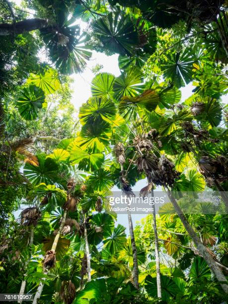 Green leaves of Fan palm, (Licuala grandis) in rainforest