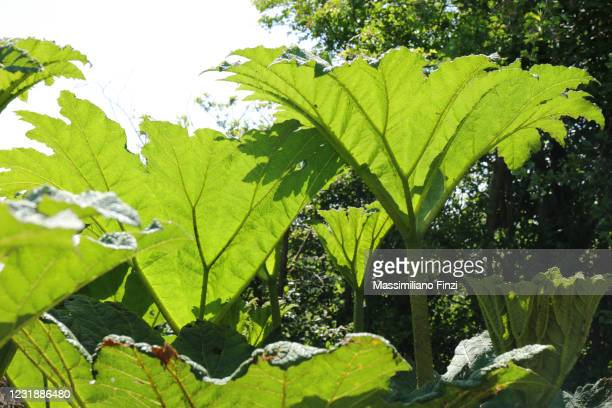 green leaves of giant rhubarb (gunnera tinctoria) - exotic_species stock pictures, royalty-free photos & images