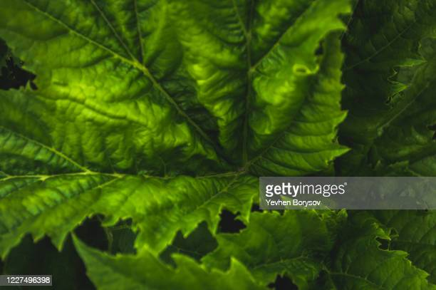 green leaves of hogweed - giant hogweed stock pictures, royalty-free photos & images