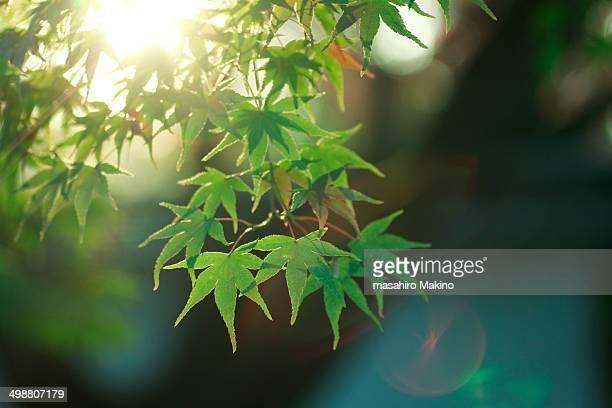 Green Leaves of Japanese Maple Tree