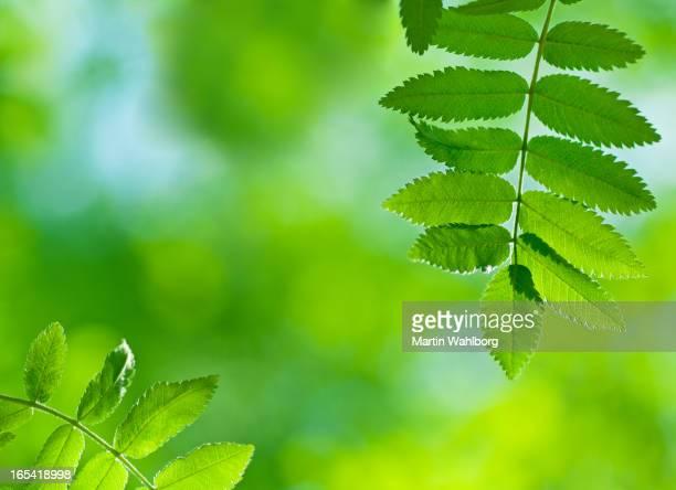 Green Leaves of Spring Rowan