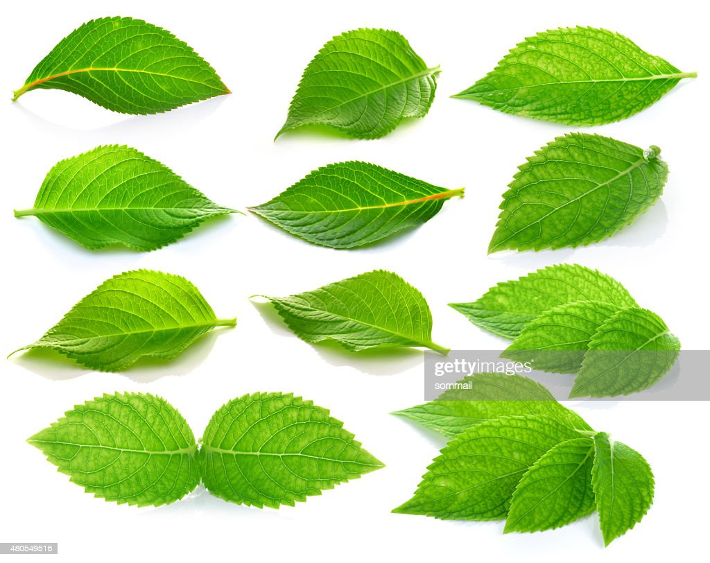 green leaves on a white background : Stock Photo
