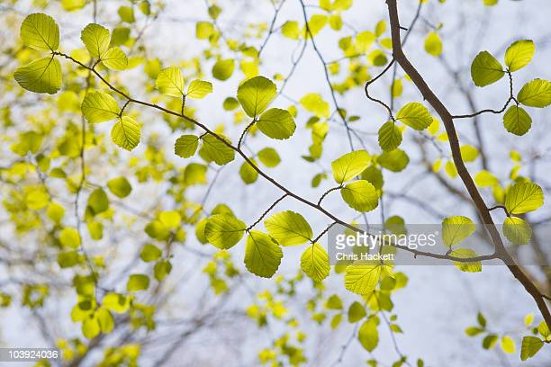 green leaves on tree branches in spring - hackett stock photos and pictures