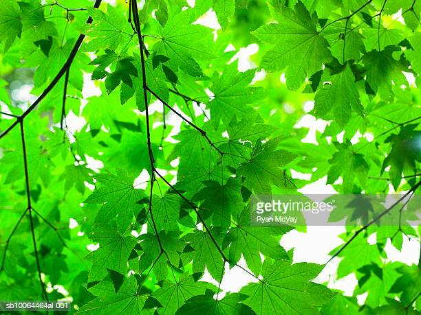 Green leaves on tree, view from below