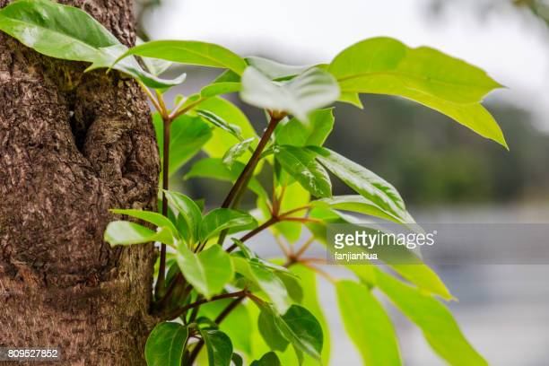 green leaves on trunk