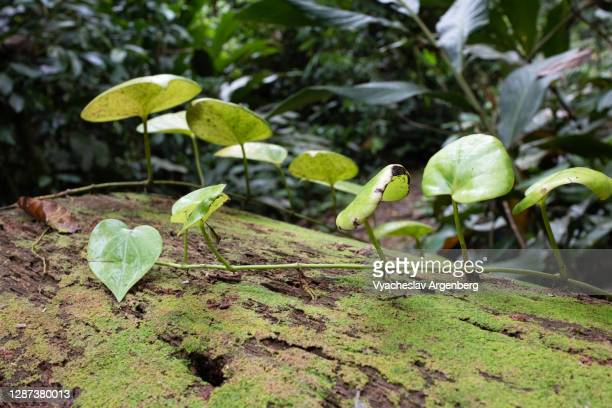green leaves on wood, moss in tropical forest, borneo, malaysia - argenberg stock pictures, royalty-free photos & images