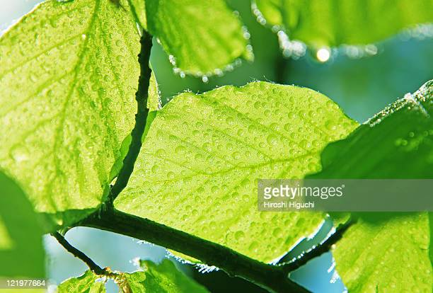 green leaves - beech tree stock pictures, royalty-free photos & images
