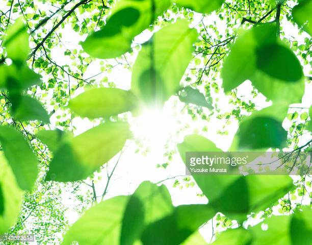 green leaves - back lit stock pictures, royalty-free photos & images
