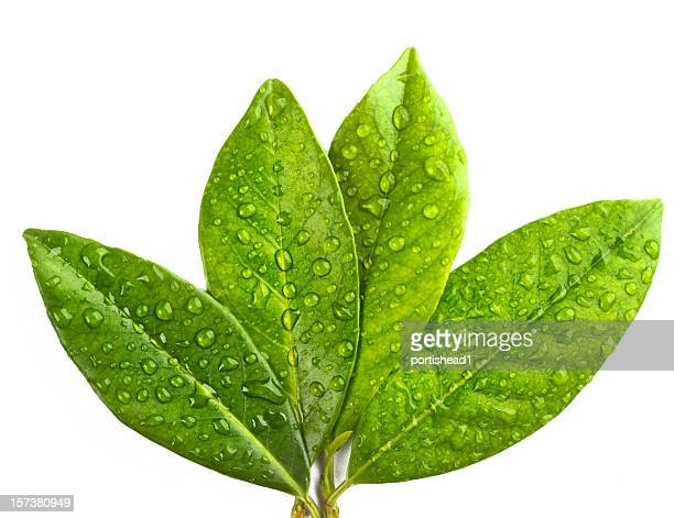 green leaves - lemon leaf stock photos and pictures