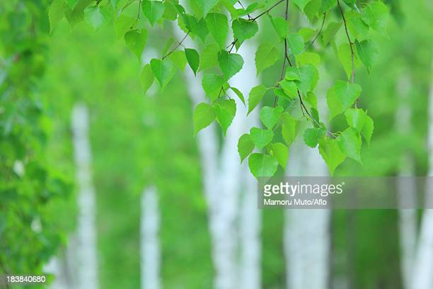 green leaves - 盛岡市 ストックフォトと画像