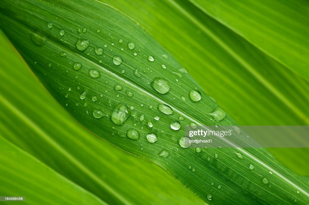 Green leaves : Stock Photo